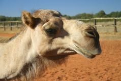 Close up camel Stock Photo