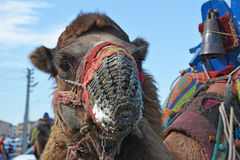 Close-up camel. Camel wrestling. Royalty Free Stock Photo