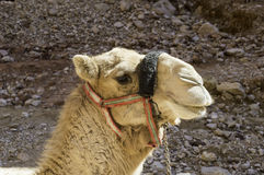 Close up of camel Royalty Free Stock Images