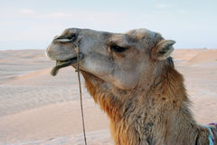 Close-up of camel in desert Stock Photography