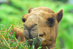 Close up of camel is eating grass Stock Photography