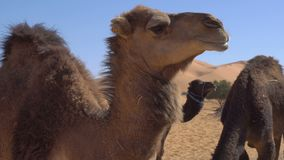 Close up of camel eating wheat from hay and chomping in Desert with sand dunes on background. 4k UHD stock footage