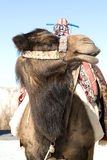 Close up of camel. Face and head in traditional decoration and saddle Royalty Free Stock Photos