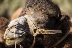 Close up camel face Nubra Valley Ladakh ,India Royalty Free Stock Image