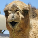 Close up of a camel with a halter Stock Image