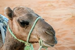 Close up of a camel head. In desert Royalty Free Stock Photos