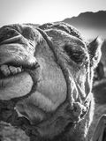 Close up of camel. Looking at the camera in front of mountains in the moroccan desert Stock Photography
