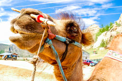 Close-up of camel, Mongolia Stock Images