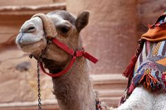 Close-up of a camel in Petra waiting in front of the treasure house for tourists who want to ride on it royalty free stock photo