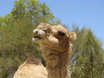 Close up of a camel Royalty Free Stock Photography