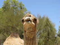 Close up of a camel Stock Photos