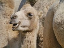 Close up of a camel Royalty Free Stock Photo