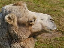 Close up of a camel Stock Photo
