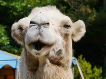 Close up of a camel Royalty Free Stock Photos