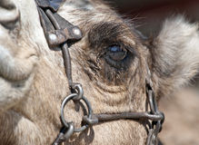 Close up of a Camel's Eye Royalty Free Stock Image