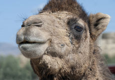 Close up of a Camel's Head. In the Sunshine Royalty Free Stock Image