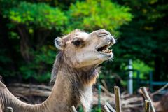 Close up of a camel`s head. A camel closeup of a head with an interesting grimace Stock Image