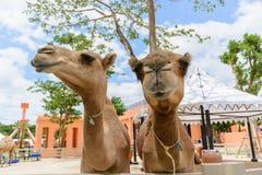 Close up camel Stock Photo