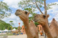 Close up camel Royalty Free Stock Image
