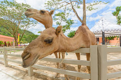 Close up camel Royalty Free Stock Photography