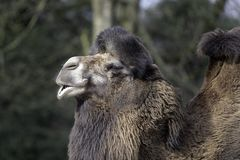 Close up of a camel in the zoo enjoying the sun stock photo
