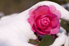 Close up of a camelia flower under the snow Stock Images