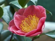 Camellia japonica blossom. Close up of camellia japonica shrub pink flowers stock photo