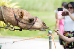 Close up of Camels eat from hand in thailand zoo Stock Photos