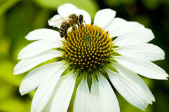 Close up of camomile and bee. Background Royalty Free Stock Photo