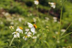 Close up  camomile Royalty Free Stock Photos