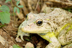 Close up of a camouflage toad Stock Photos