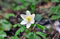 Close up of a Canada Anemone flower. Stock Image