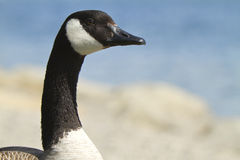 Close up of a Canada goose Stock Images