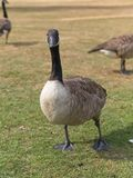 Close-up of canada goose on grass field. stock images