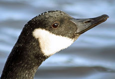 Close up of the Canada Goose   Royalty Free Stock Images