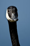 Close Up of Canada Goose Making Eye Contact Royalty Free Stock Photos