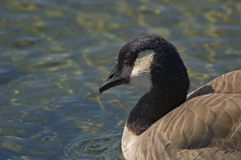 Close up of a Canada Goose's head Royalty Free Stock Image
