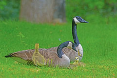 Close up Canadian Geese pair, babies, and butterfly. Royalty Free Stock Photos