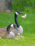 Close up Canadian Geese pair, babies, and butterfly. Stock Images