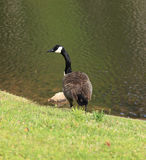Close up of Canadian Goose Stock Images