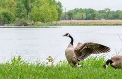 Canadian goose flapping wings by lakefront royalty free stock photos