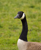 Close Up of Canadian Goose with Meadow in Background Stock Image