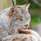Close up of the Canadian lynx Stock Photography