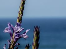Close up of canaries lavender with atlantic Ocean in the background. A Close up of canaries lavender with atlantic Ocean in the background royalty free stock photos