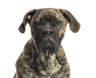 Close-up of a Cane Corso, 8 months old Stock Photography