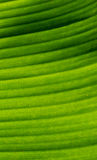 The close-up of canna leaves Stock Photos