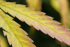 Close up of cannabis leaf, fall color Stock Photo