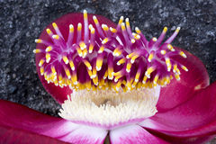 Close up of Cannonball tree flower-Mayajigua Lakes, Cuba Royalty Free Stock Images