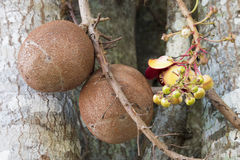 Close up of the Cannonball tree fruit in Cuban countryside Stock Image