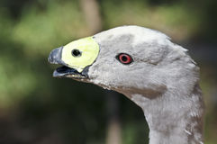 A Close Up of a Cape Barren Goose Royalty Free Stock Photography